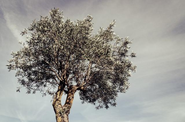 A random olive tree in Sardinia