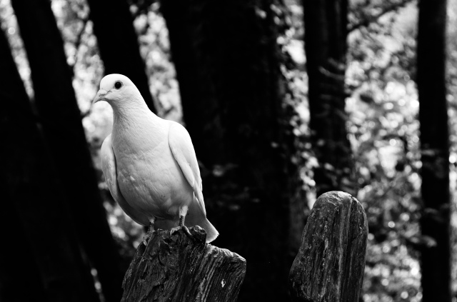 a dove sitting on a wooden post